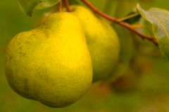 Pears. Two pears in warm autumn colors Stock Images