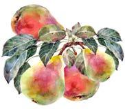 pears Royaltyfria Bilder