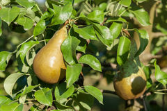 Pears in apple tree Royalty Free Stock Photography