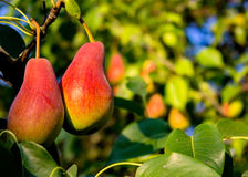 Pears autumn. Pear  Tree  Liszt  Garden  Flora  Tasty   Is  Food  Green  Shot Royalty Free Stock Images