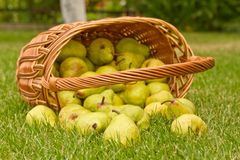 Pears in the basket Stock Photos