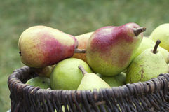 Pears in basket. Organic ripe pears in a basket against a grass Stock Images