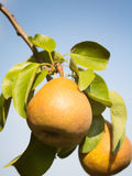Pears and Blue Summer Sky Stock Photography