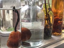 Pears in bottles in order to prepare liquor royalty free stock image