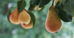 Pears on the bough Stock Photos