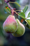 Pears on branch Royalty Free Stock Image