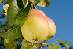 Pears on a branch Stock Images