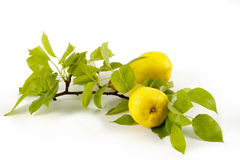 Pears on branch Royalty Free Stock Images