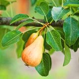 Pears on the branch Royalty Free Stock Photos