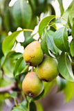Pears on a branch Stock Photos