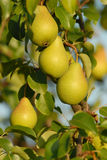 Pears on branch Royalty Free Stock Photo