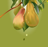 Pears on a branch Royalty Free Stock Images