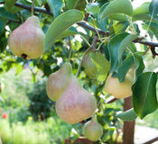 Pears on branch. Pears - orchard Royalty Free Stock Photo
