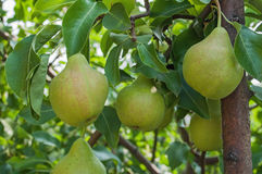 Pears on branch. Pears - orchard Royalty Free Stock Images