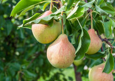 Pears on branch. Royalty Free Stock Photo