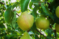 Pears on branch. Stock Images