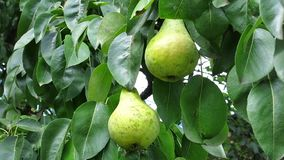 Pears on the Branch. Pears on the Tree. Pear in the Garden. Pears in the leaves. Delicious pear in the sun.  stock video footage