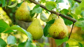 Pears on the branch Royalty Free Stock Photography