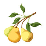 Pears on a branch. Branch with three yellow pears and leaves on a white background Stock Photography