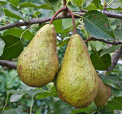 Pears on a branch Royalty Free Stock Photos
