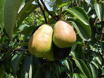 Pears on the branch of tree Royalty Free Stock Photography