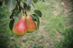 Pears on a branch Stock Photo