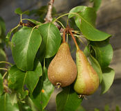 Pears on Branch Royalty Free Stock Photography