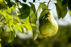 Pears on a branch,unripe green pear,Pear tree,Tasty young pear h Stock Photo
