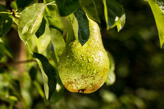Pears on a branch,unripe green pear,Pear tree,Tasty young pear h Stock Images