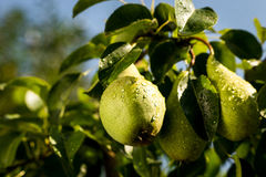 Pears on a branch,unripe green pear,Pear tree,Tasty young pear h Royalty Free Stock Images