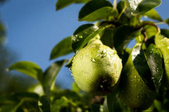 Pears on a branch,unripe green pear,Pear tree,Tasty young pear h Royalty Free Stock Photo
