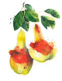 Pears on the branch watercolor illustration isolated on white background. Pears on the branch watercolor illustration isolated on white Stock Photo