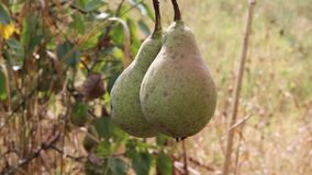 Pears from Bulgaria stock video footage