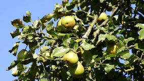 Pears for cider. At a tree stock video footage