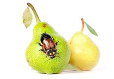 Pears with cockroach royalty free stock image