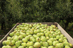 Pears in crate and empty fruit trees Stock Photo