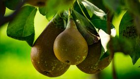 Pears fruit biologic natural on the plant. Pears very sweet on the plant and green leaves biologic naturaln royalty free stock photos