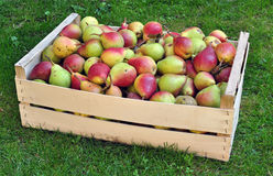 Pears - fruit crop yield. Fresh pears in a box, fruit crop or yield royalty free stock image