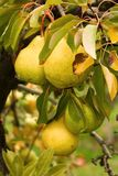 Pears in fruit garden Royalty Free Stock Photos