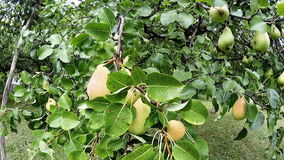 Pears fruits stock video footage