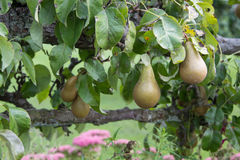 Pears growing in garden Stock Photos