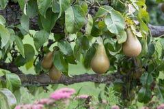 Pears growing in garden stock photos