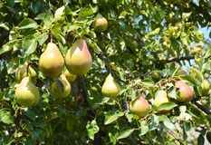 Pears: Planting, Growing, and Harvesting Pears. Growing pears in home garden. Stock Images