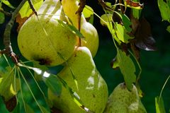 Pears growing in a home garden, nothing beats tree ripened fruit. Pears ripening on a tree, fresh fruit straight from the garden is healthy and sustainable royalty free stock photography