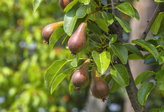 Pears growing in the pear orchard Royalty Free Stock Image