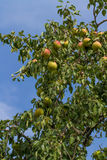 Pears Growing on  Tree Stock Photos