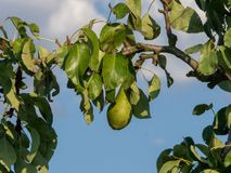 Pears growing on a tree, healthy fruit stock photo