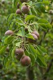 Pears growing on a tree in summer Stock Photo