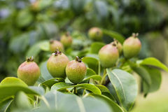 Pears growing on tree Royalty Free Stock Photos