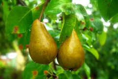 Pears hanging from a tree Stock Photos